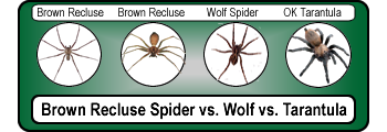 Brown-Recluse-Spider-Wolf